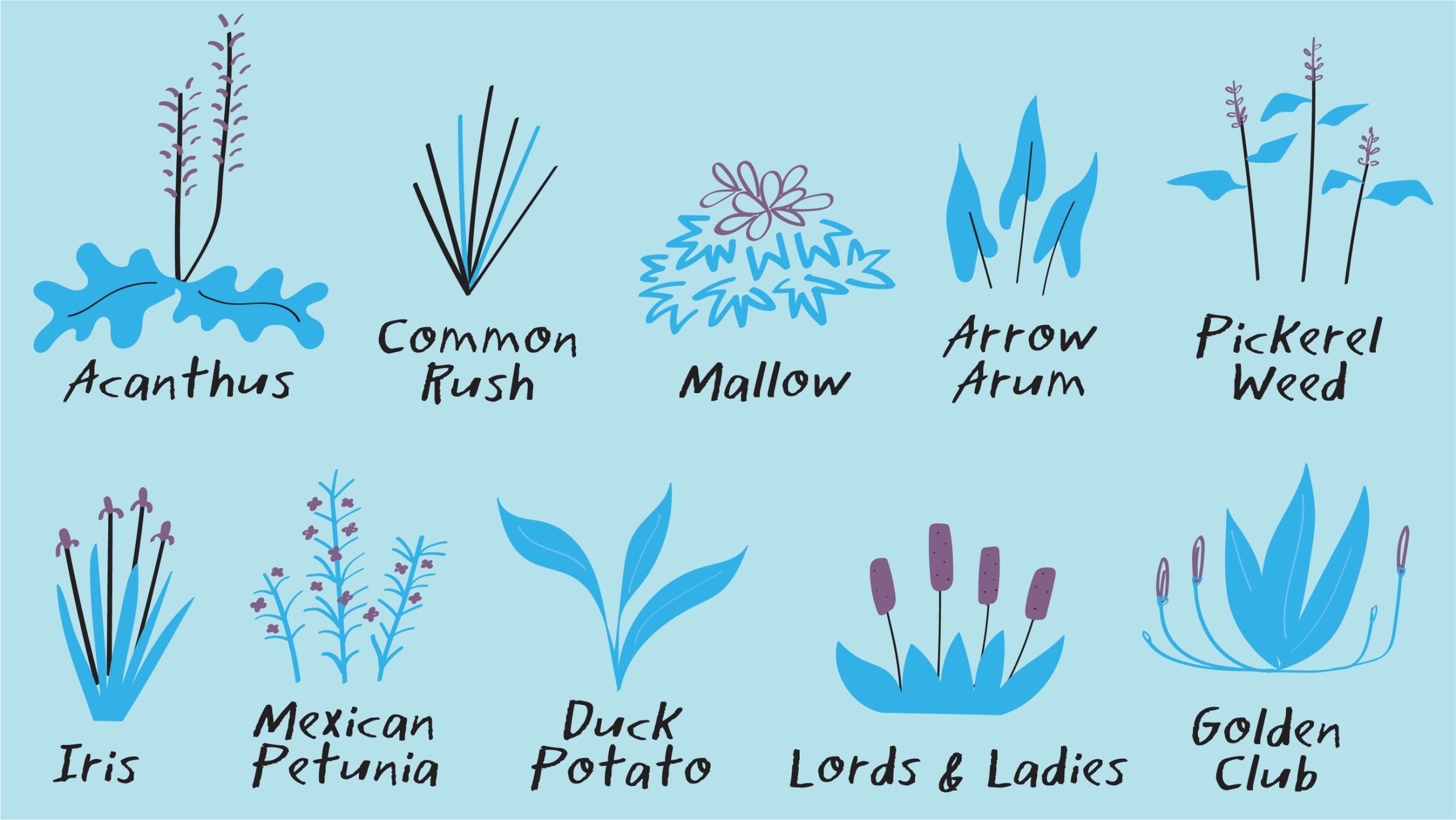 Illustration of the plants that grow in Emory's WaterHub wetlands. They include: acanthus, common rush, mallow, arrow arum, pickerel weed, iris, Mexican petunia, duck potato, lords and ladies and golden club.