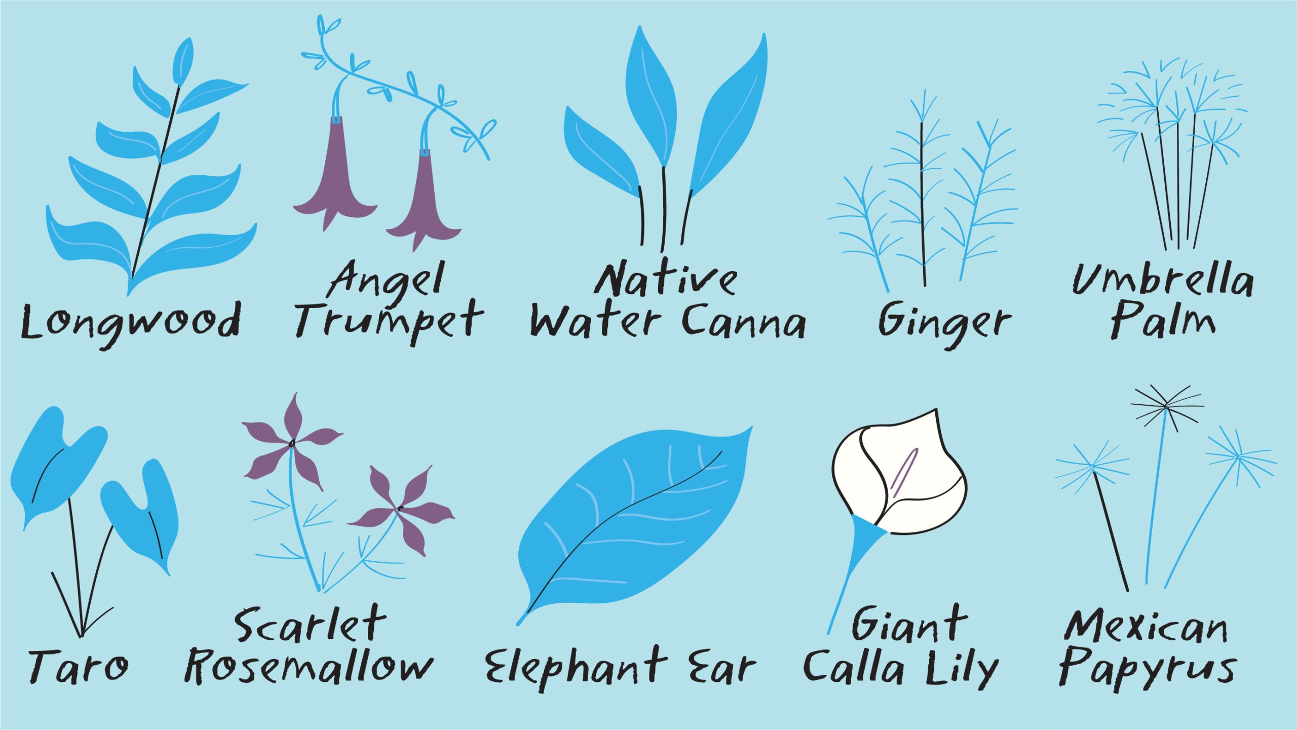Illustration of the plants that grow in Emory's WaterHub green house. They include: longwood, angel trumpet, native water canna, ginger, umbrella palm, taro, scarlet rosemallow, elephant ear, giant calla lily, and mexican papyrus.