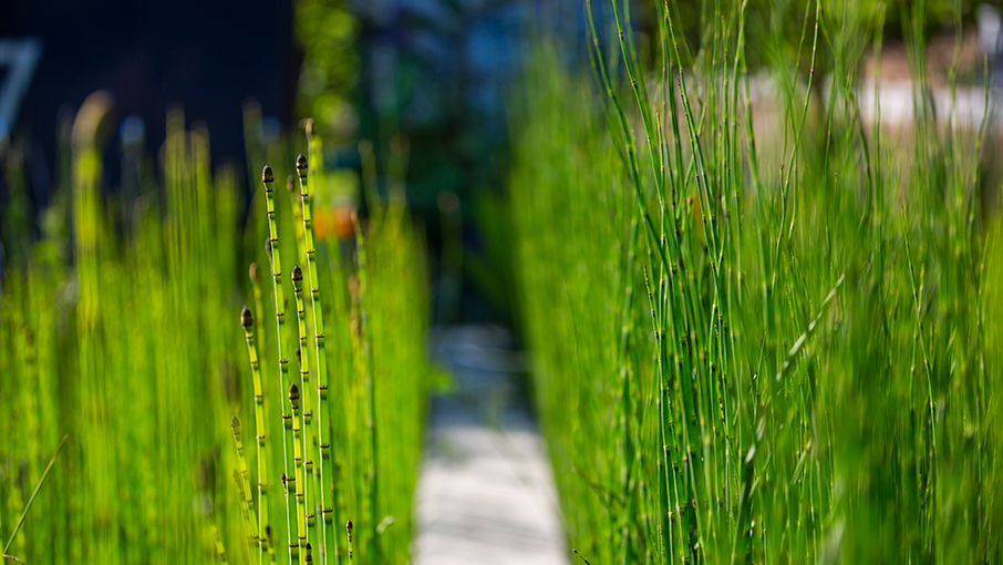 horsetail grows in Emory's WaterHub wetlands