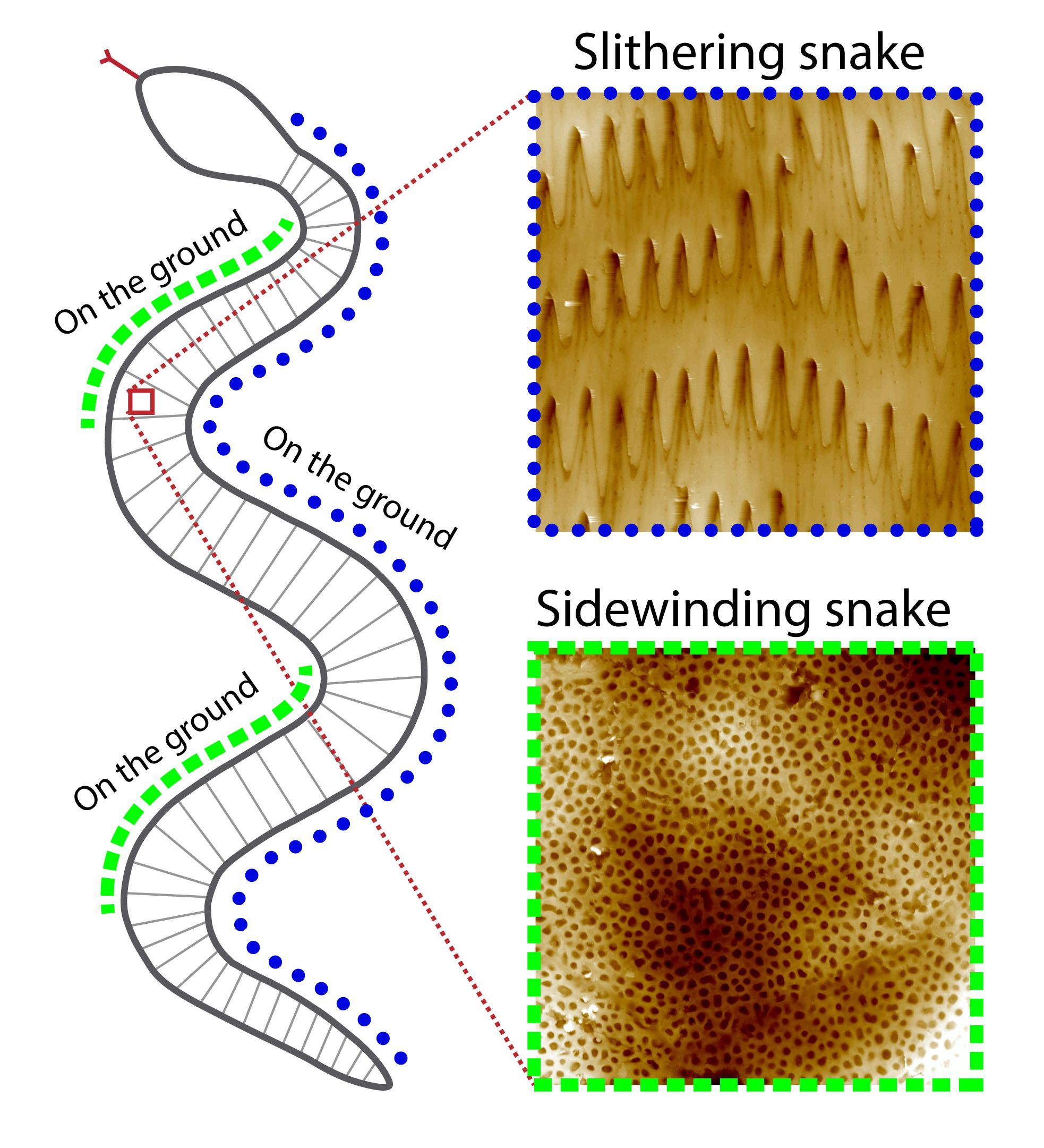 snake diagram links image of skin spikes with snakes who keep their whole bellies on the ground, and links sidewinder skin pits with lifting the belly