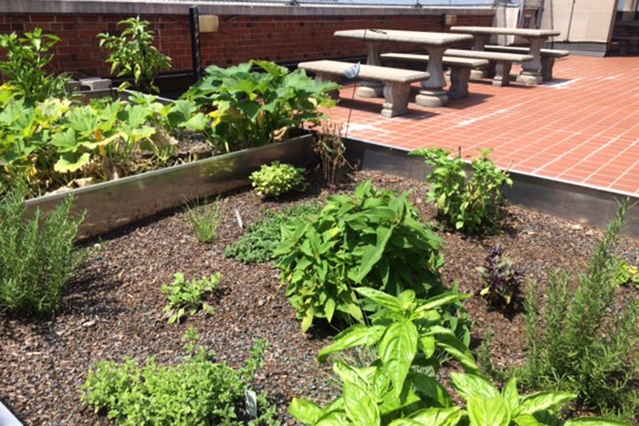 On the green roof at Emory University Hospital Midtown, various produce are thriving.