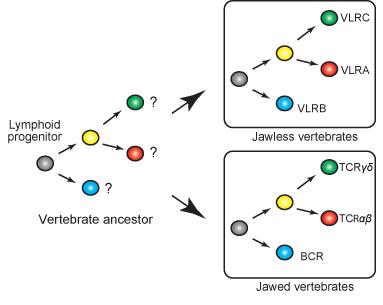 Lymphocyte lineages